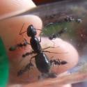 Colonia de Camponotus foreli Ants Free