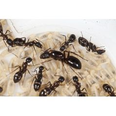 Colony of Camponotus barbaricus Ants Free Anthouse