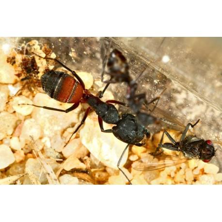 Reina de Camponotus cruentatus (Con huevos) Anthouse  Hormigas Gratis