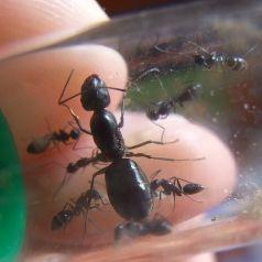 Reina de Camponotus foreli (con huevos)   Hormigas Gratis