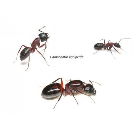 Colony of Camponotus ligniperdus Ants Free