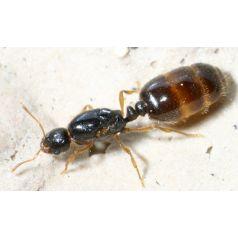 Reina de solenopsis fugax Anthouse  Hormigas Gratis