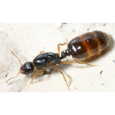Reina de Aphaenogaster dulcineae (con huevos)