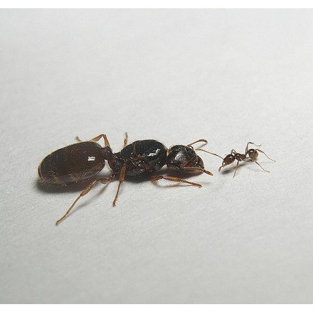Pheidole pallidula- Königin (Mit Eiern) Gratis- Ameisen Anthouse