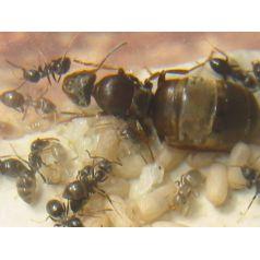 Lasius grandis- Königin (Mit Eiern)  Gratis- Ameisen Anthouse