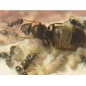 Reina de Lasius niger (con huevos)
