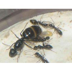Camponotus aethiops- Königin Gratis- Ameisen Anthouse