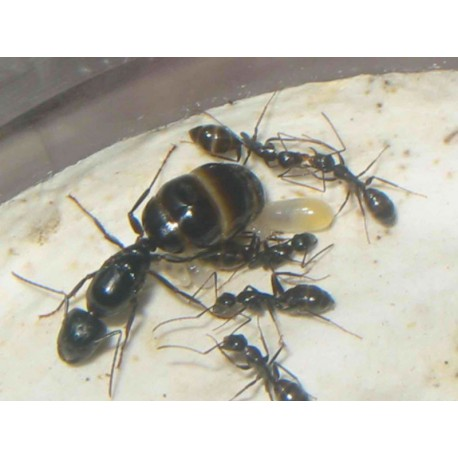 Reina de Camponotus micans (hormiga plateada)