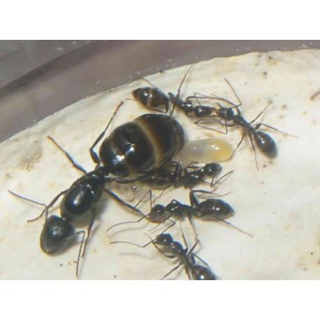 Reina de Camponotus aethiops Anthouse  Hormigas Gratis