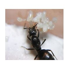Tapinoma nigerrimum- Königin (Mit Eiern) Gratis- Ameisen Anthouse