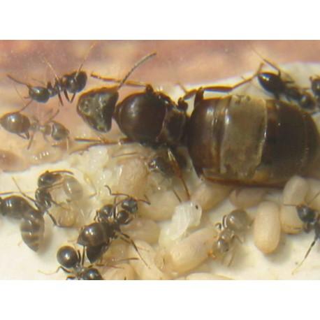 Lasius grandis- Kolonie (Ideal für Anfänger)