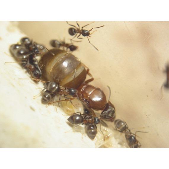 Lasius emarginatus- Kolonie Gratis- Ameisen Anthouse