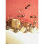 Queen of Lasius emarginatus Ants Free Anthouse