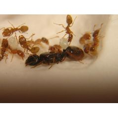 Tetramorium semilaeve- Kolonie Gratis-Ameisen Anthouse