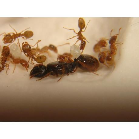 Colonia de Tetramorium semilaeve Anthouse  Hormigas Gratis