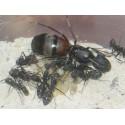 Regalo Reina de Camponotus cruentatus