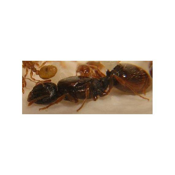 Queen of Tetramorium semilaeve (with eggs) Ants Free Anthouse
