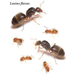 Lasius Flavus- Königin (mit Eiern) (golden) Gratis-Ameisen Anthouse