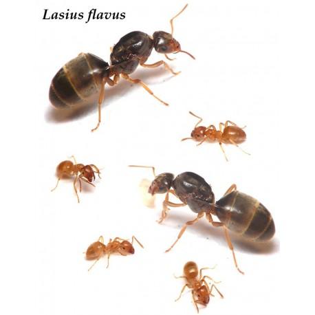 Reina de Lasius Flavus (con huevos)(color Oro) Anthouse  Hormigas Gratis