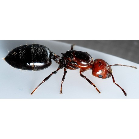 Queen of Crematogaster scutellaris Ants Free