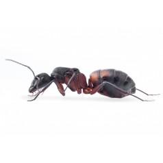 Colonia de Camponotus...