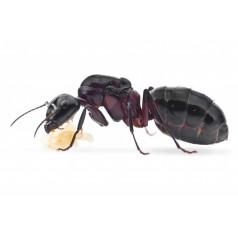 Reina Camponotus ligniperdus (la mas grande) Anthouse  Hormigas Gratis