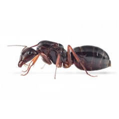 Reine de Camponotus aethiops