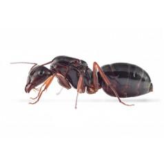 Colonia di Camponotus aethiops