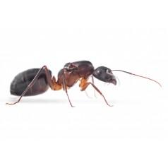 Reina de Camponotus barbaricus (con huevos) Anthouse  Hormigas Gratis