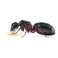 Colonia de Camponotus herculeanus   Hormigas Gratis