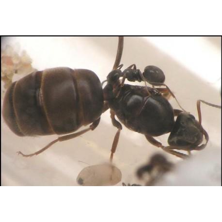 Reina de Lasius niger (con huevos)   Hormigas Gratis