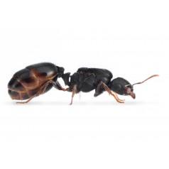 Colony of Tetramorium caespitum Ants Free