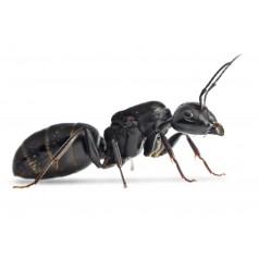 Colonia de Camponotus vagus