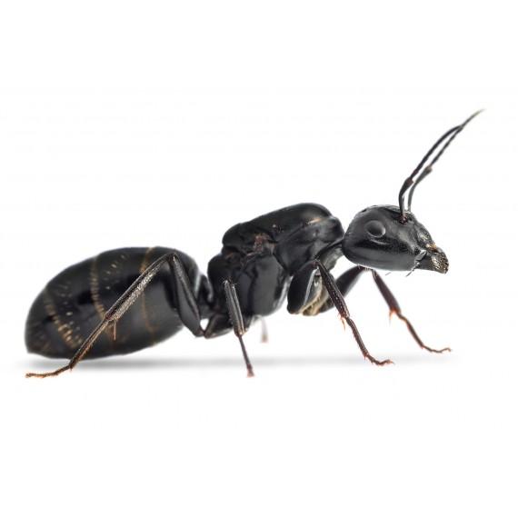 Colonia de Camponotus vagus Ants Free