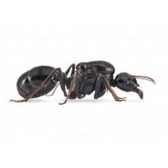 Colony of Messor capitatus Ants Free Anthouse