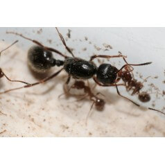 Colony of Messor structor Ants Free Anthouse