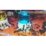 Nectar Blue Sugar 10ml Food Anthouse