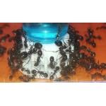 Nectar Blue Sugar 50ml Food Anthouse