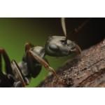 Colonia Formica cinerea Anthouse  Hormigas Gratis