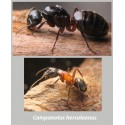 Regalo colonia de Camponotus herculeanus