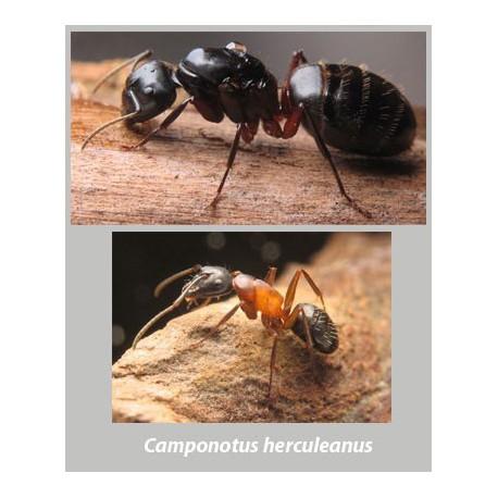 Reina Camponotus herculeanus (Hormiga Gigante)   Hormigas Gratis