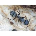 Regalo Reina de Camponotus micans