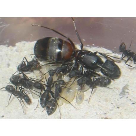 Regalo colonia de Camponotus cruentatus