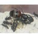 Colonia de Camponotus cruentatus Anthouse  Hormigas Gratis