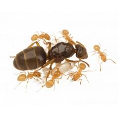 Colonia de Lasius flavus (Hormiga ORO) Anthouse  Hormigas Gratis