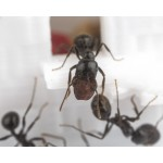Comedero 3D - Semillero para hormigas granívoras Anthouse Otros Accesorios