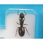 Anthouse ACRI-KING 9x5x1,3cm Acrylic Anthouse
