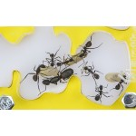 AntHouse-Hori-Acri 20x15x1.5 (Mushroom with foraging box) Acrylic Anthouse