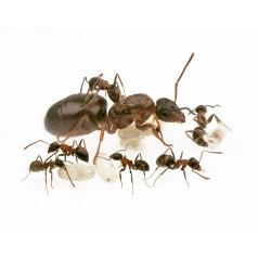 Lasius emarginatus -Kolonie