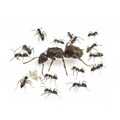 Colony of Lasius grandis (suitable for beginners) Ants Free Anthouse